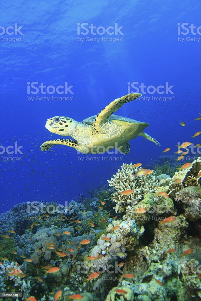 Hawksbill Turtle and Coral Reef royalty-free stock photo