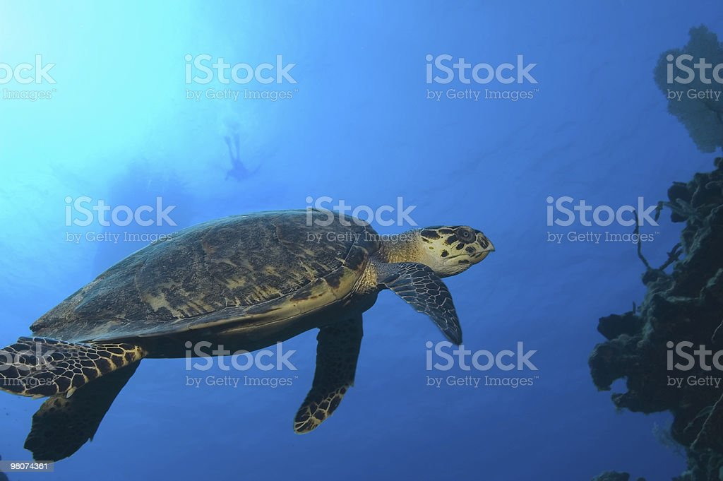 Hawksbill turtle and distant swimmer royalty-free stock photo
