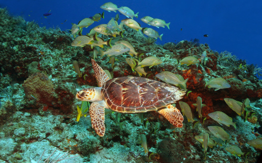 Hawksbill Turtle and School of Fish - Cozumel, Mexico