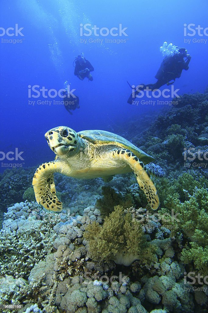 Hawksbill Turtle and Scuba Divers royalty-free stock photo