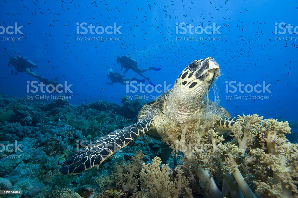 Hawksbill Turtle and scuba divers - Royalty-free Dieren in het Wild Stockfoto