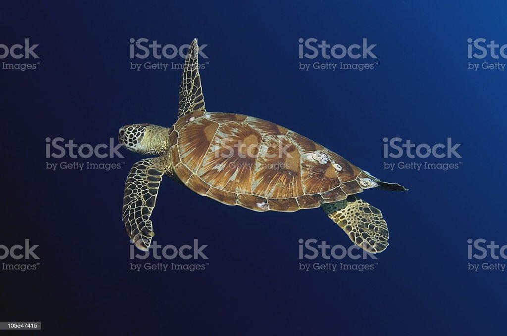 Hawksbill Turtle At Sipadan royalty-free stock photo