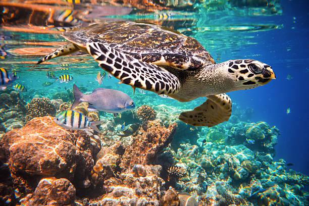 Echte Karettschildkröte-Eretmochelys imbricata – Foto