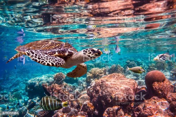 Hawksbill turtle eretmochelys imbricata picture id675058984?b=1&k=6&m=675058984&s=612x612&h=zms5ezbh7oylp6afvd1nby1rlfzxp tdrfri4owg7pm=