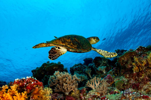 Hawksbill Turtle Eretmochelys imbricata Swimming along Colorful Reef, Peleliu Island, Palau, Micronesia stock photo