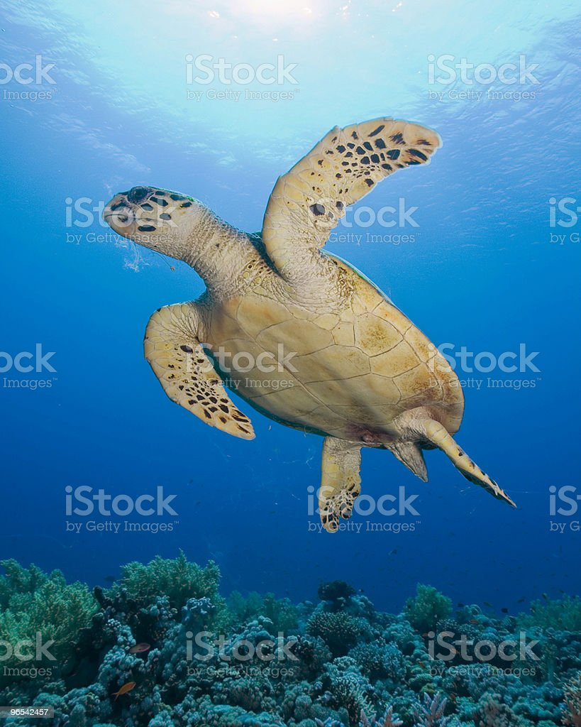 Żółw szylkretowy na światło słoneczne zbiór zdjęć royalty-free