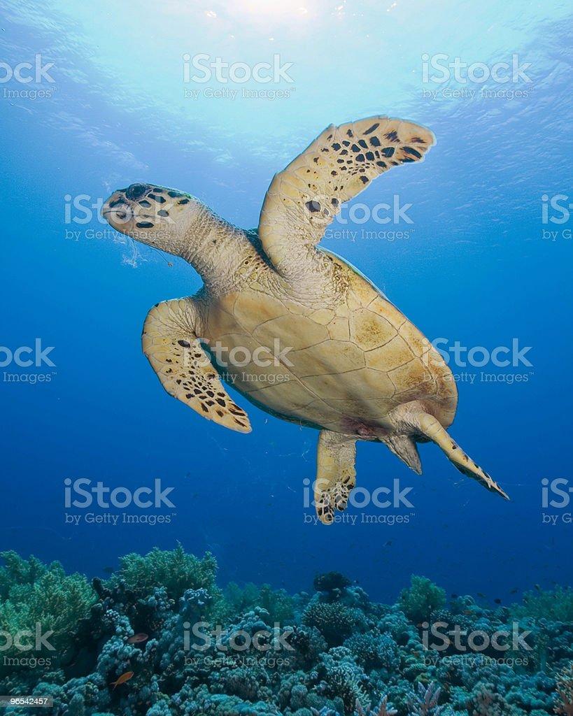 Hawksbill Turtle in sunlight royalty-free stock photo