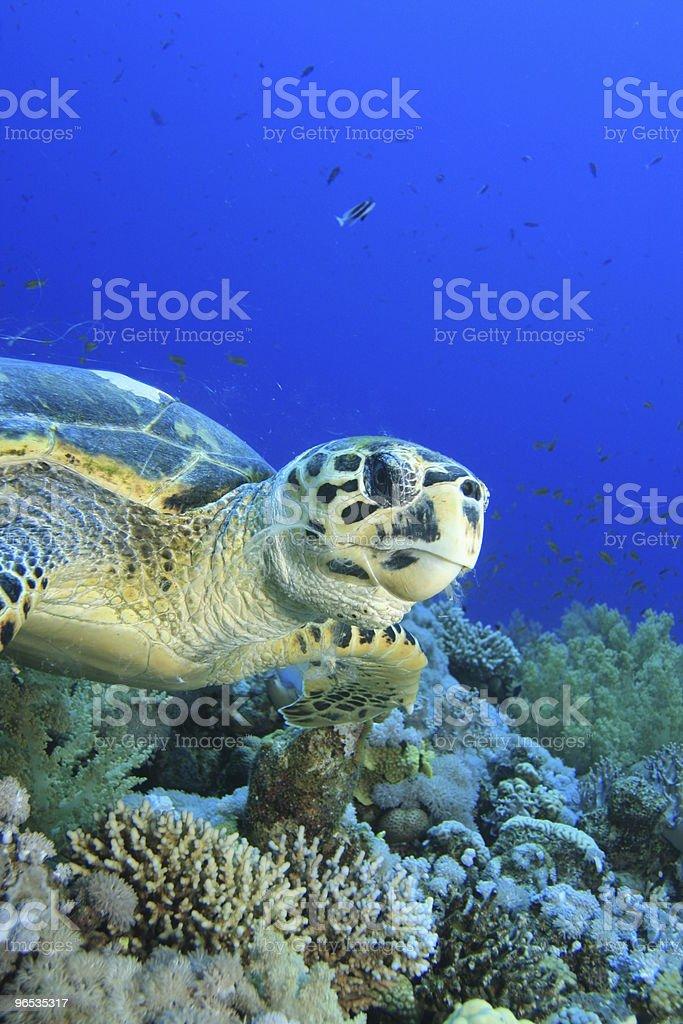 Żółw szylkretowy zbiór zdjęć royalty-free