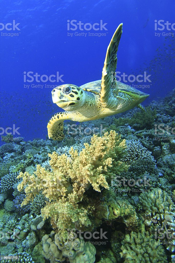 매부리바다거북 - 로열티 프리 0명 스톡 사진