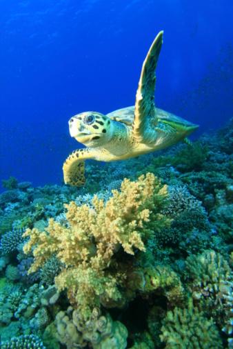 매부리바다거북 0명에 대한 스톡 사진 및 기타 이미지