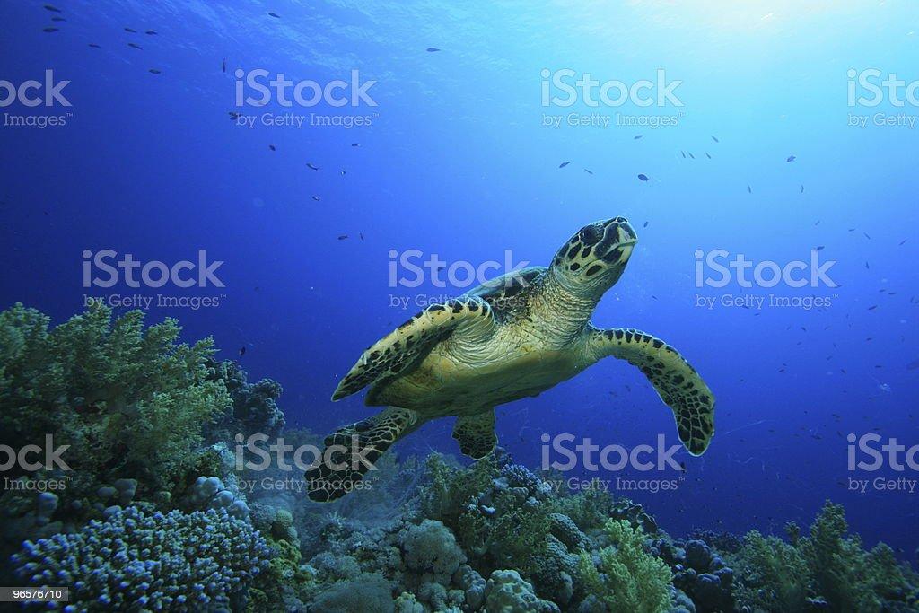 Hawksbill Turtle - Royalty-free Animal Wildlife Stock Photo