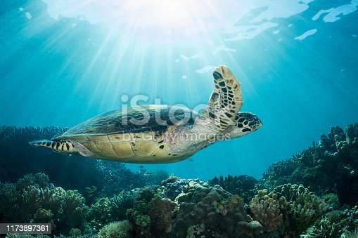 A hawksbill turtle swims in bright, shallow water along a reef in Indonesia.