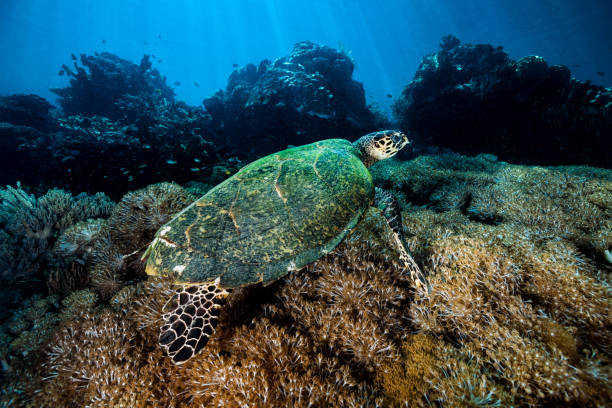 Hawksbill Turtle Swimming over Pumping Xenia Coral Reef, Komodo National Park, Indonesia stock photo