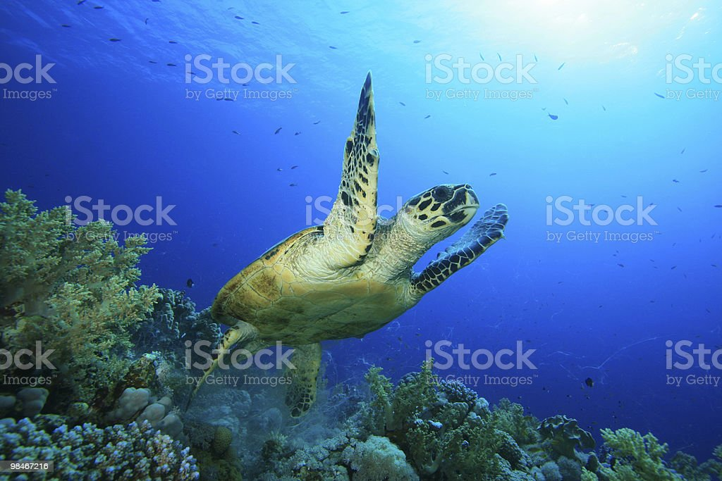 Hawksbill Turtle takes off from a coral reef royalty-free stock photo