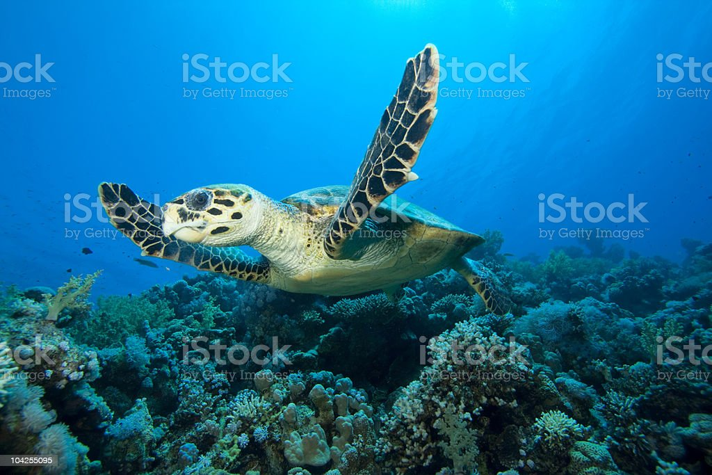 Hawksbill turtle under the ocean stock photo