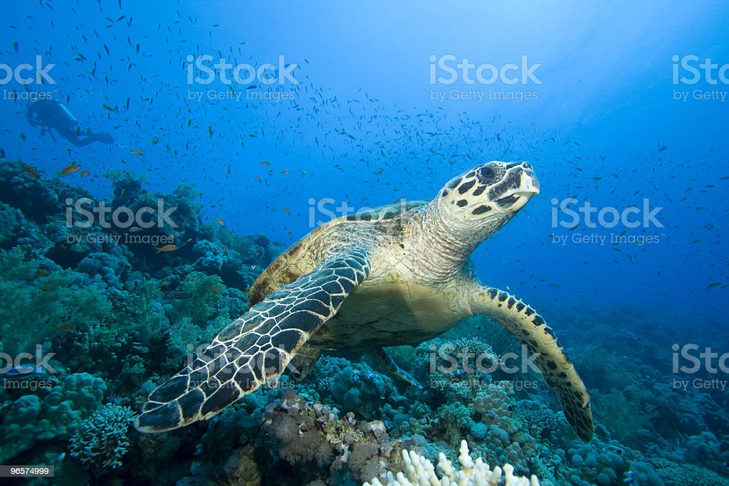 Hawksbill Turtle with scuba diver stock photo