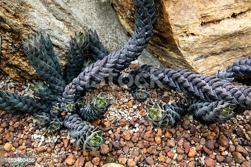 Haworthia coarctata or Aloe coarctata plant with dark green long stems lying on gravel background in a botanical garden.