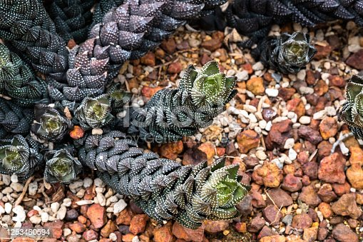 Haworthia coarctata or Aloe coarctata plant with dark green long stems lying on gravel background.