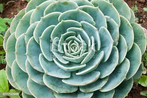 Close up of a wet Cactus Haworthia.