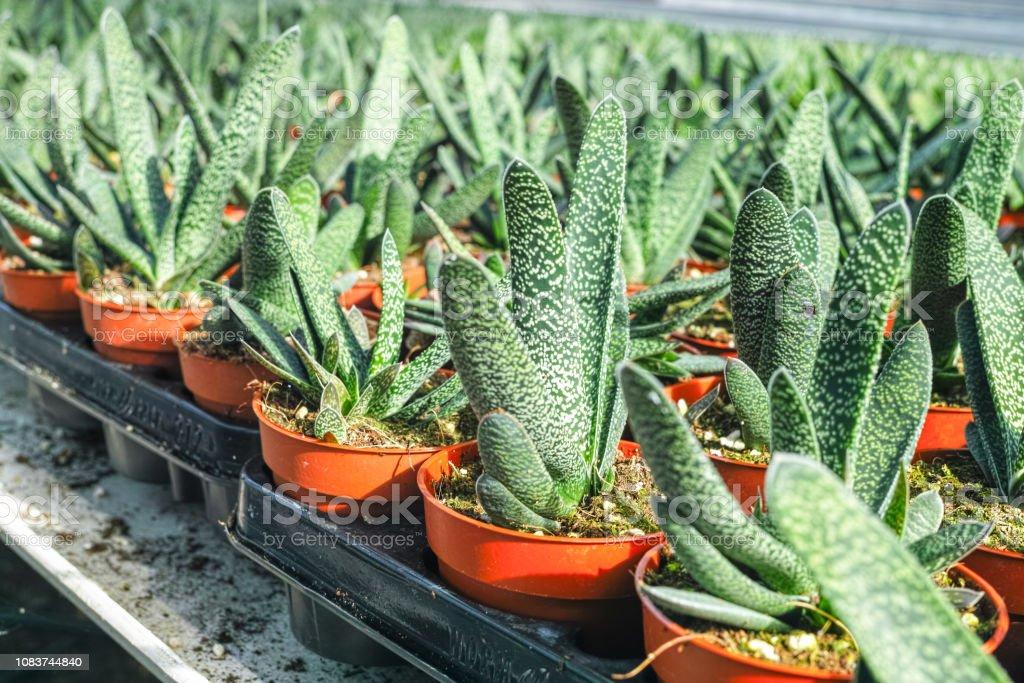 Haworthia Ist Eine Grosse Gattung Von Kleinen Sukkulenten Zimmerpflanzen Als Zier Oder Dekorative Blume Anbau Im Gewachshaus Kultiviert Stockfoto Und Mehr Bilder Von Agrarbetrieb Istock