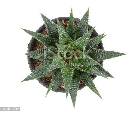 haworthia limifolia isolate on white background