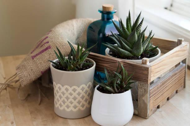 Haworthia Plants in Pots Decor