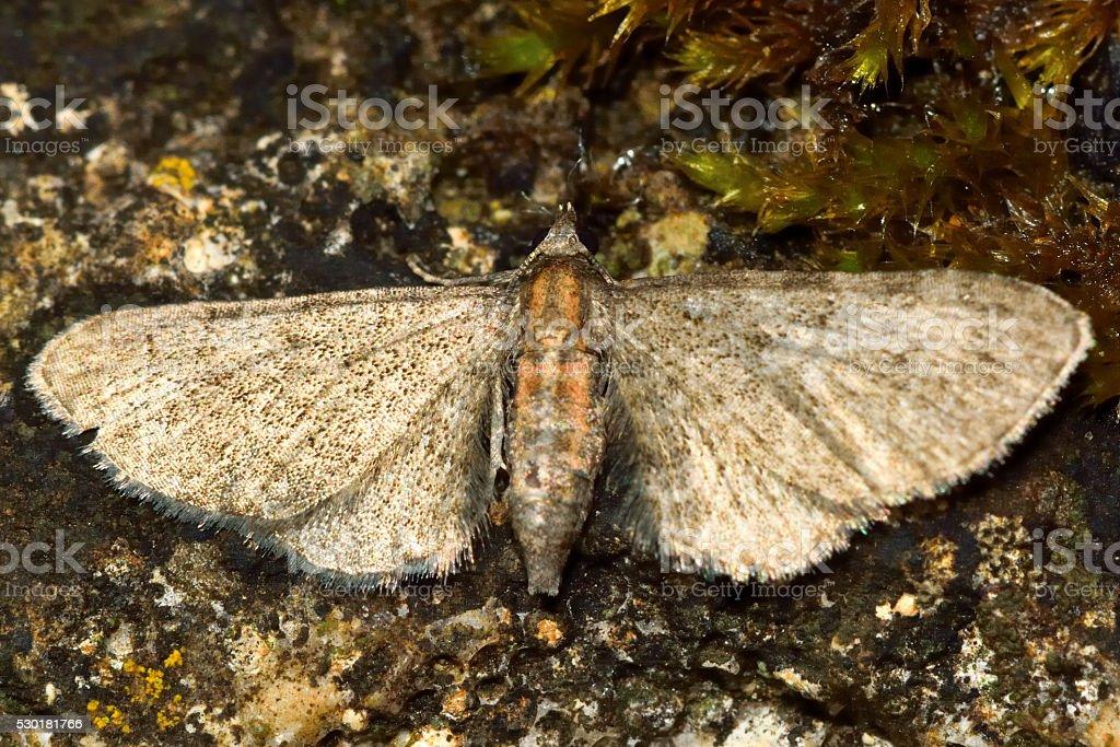 Haworth's pug moth (Eupithecia haworthiata) stock photo
