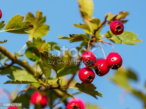 Haws - fruits of a hawthorn (Crataegus)