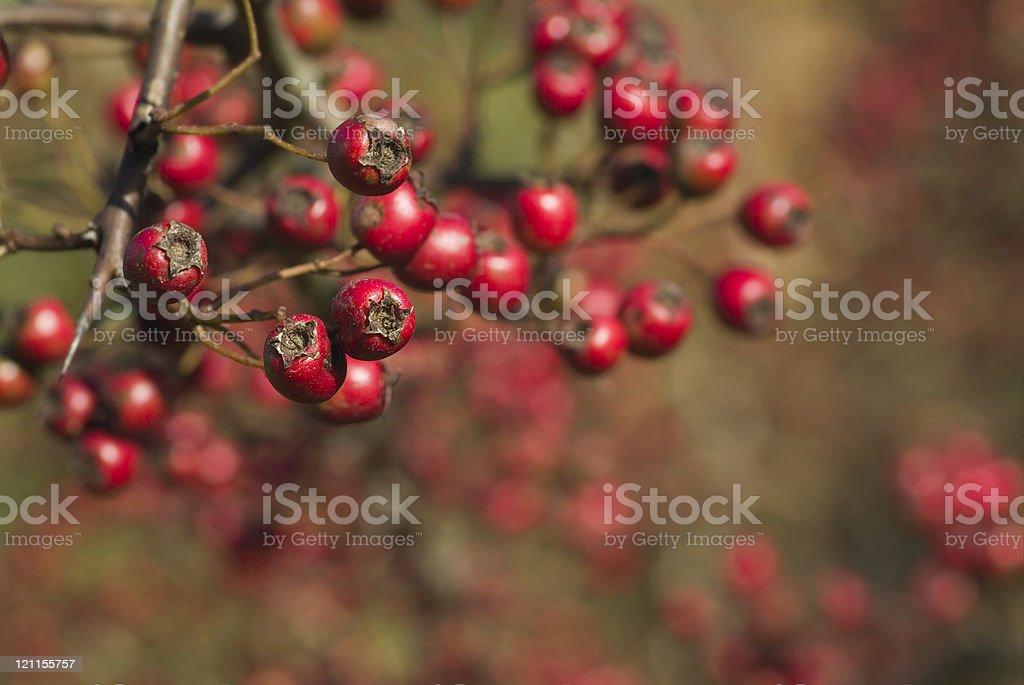 Hawthorn Berries Bokeh royalty-free stock photo