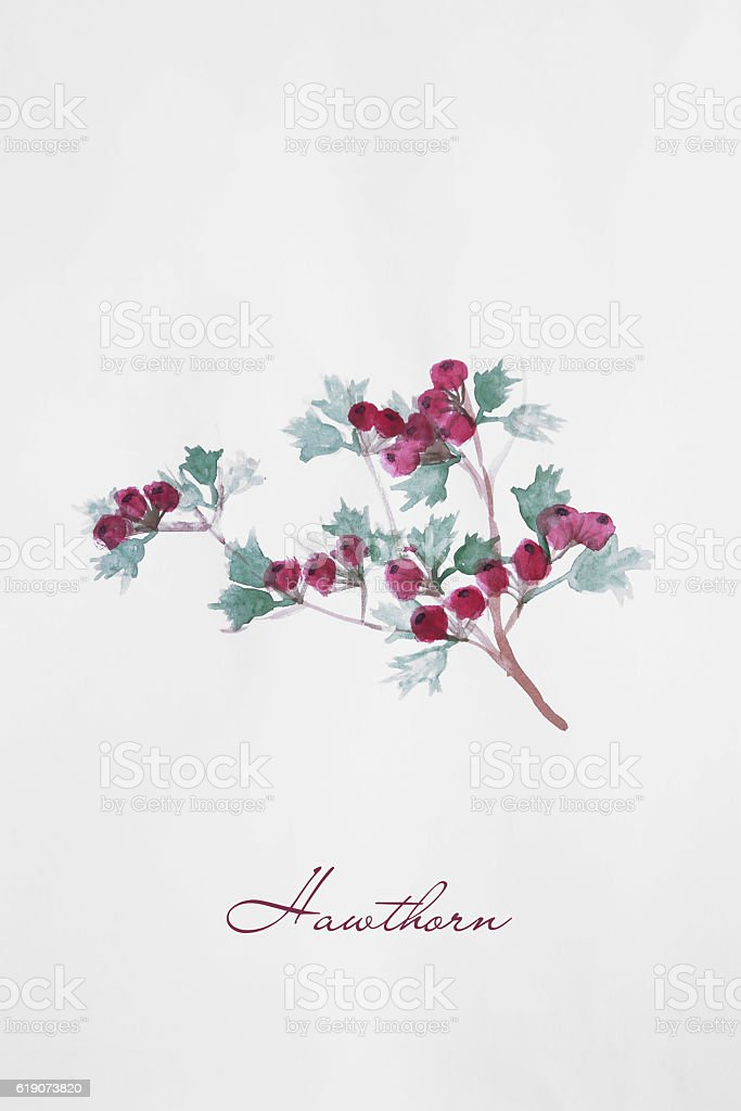 Hawthorn berries branch watercolor drawing illustration stock photo