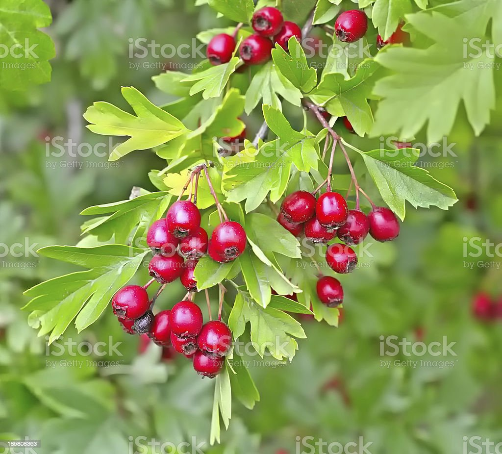 Hawthorn berries in a wood royalty-free stock photo