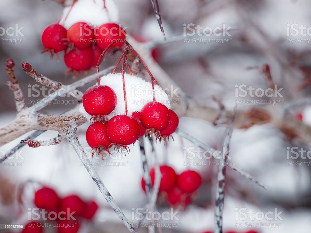 Hawthorn berries in snow royalty-free stock photo