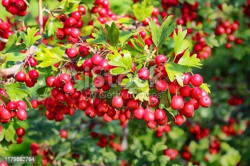 red hawthorn berries in the autumn garden