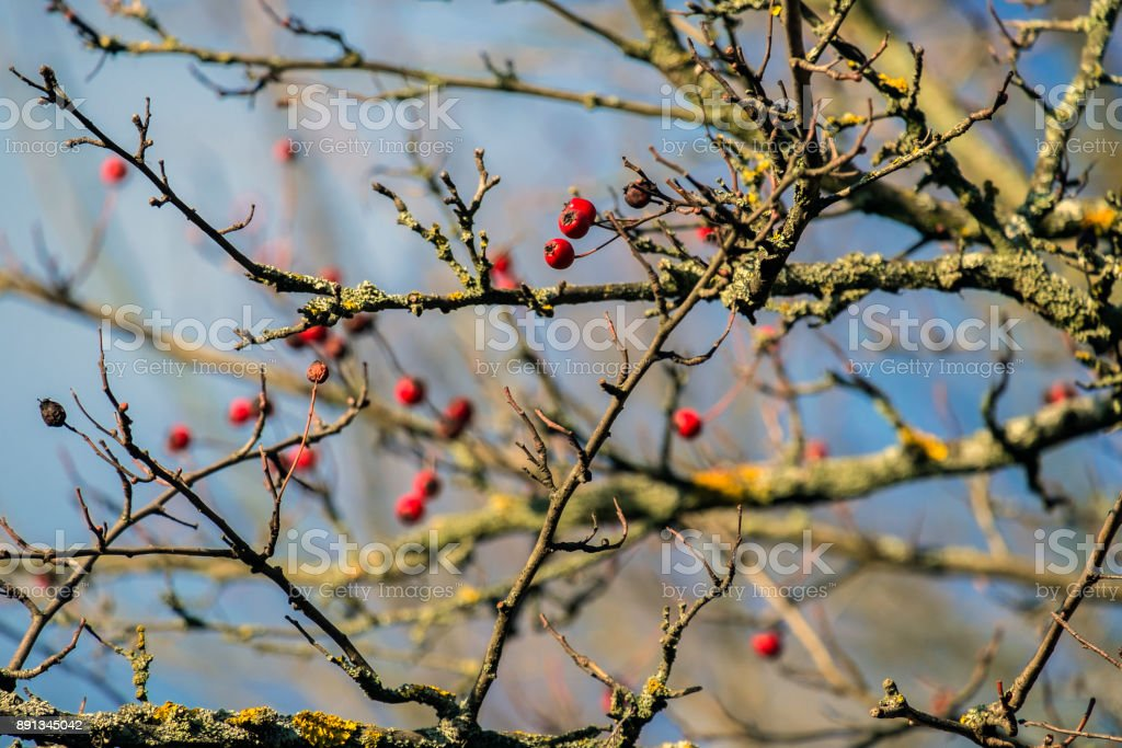 Hawthorn berries lit by the rays of autumn sun (Crataegus) stock photo