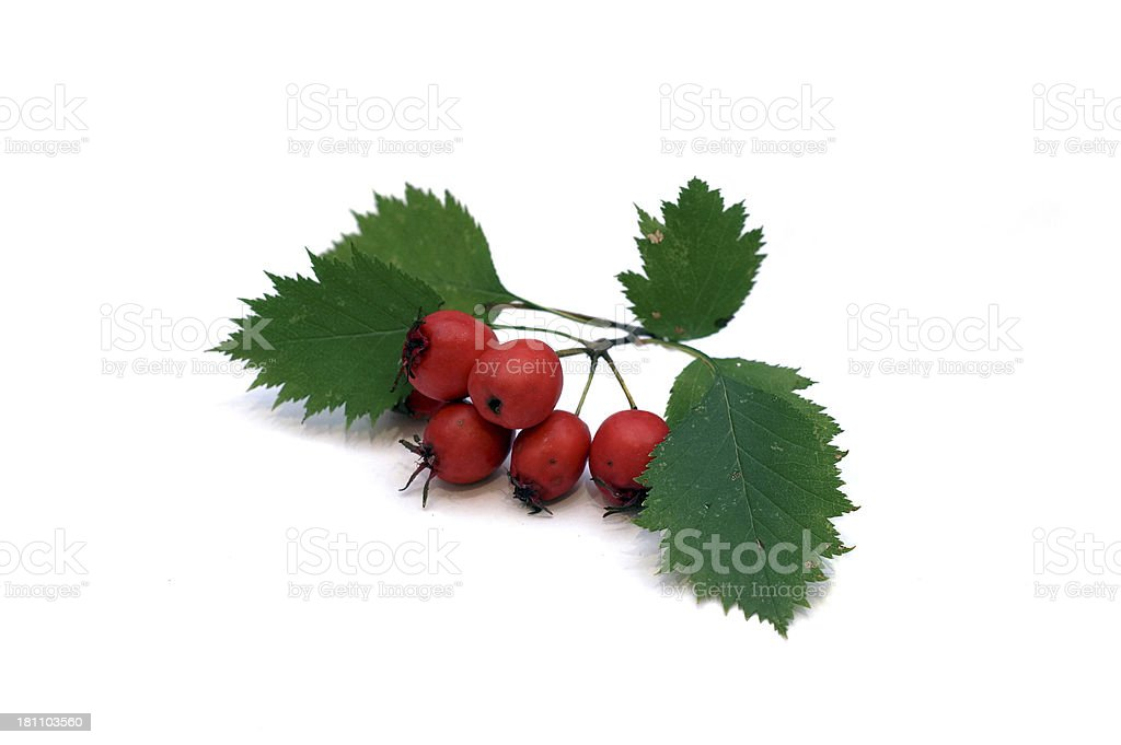 Hawthorn berries on a white background stock photo