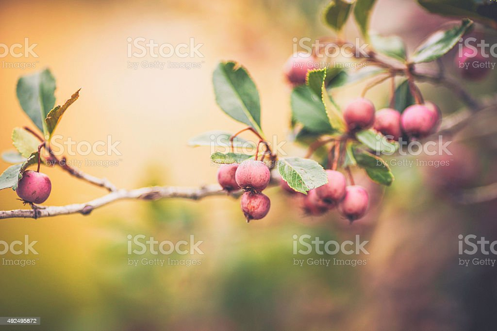 Hawthorn berries on tree branches in autumn sunlight stock photo