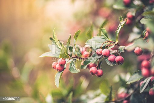 Hawthorn berries on tree branches in autumn sunlight