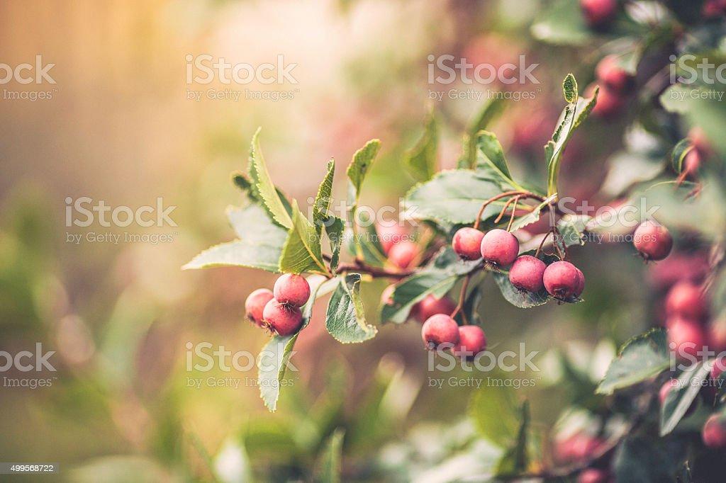 Hawthorn Beeren auf Baum Zweige im Herbst Sonnenlicht – Foto