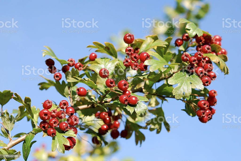 Hawthorn (Crataegus Monogyna) berries stock photo
