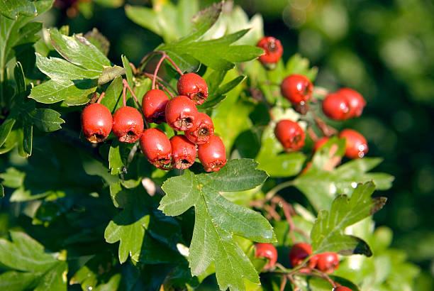 Hawthorn (Crataegus monogyna) berries stock photo