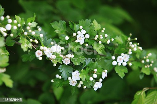 Hawthorn (Crataegus) blossom and leaves in springtime
