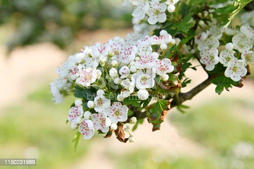 White Hawthorn blossom on branch