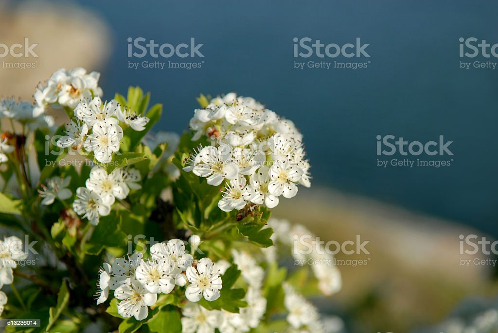 hawthorn blossom stock photo