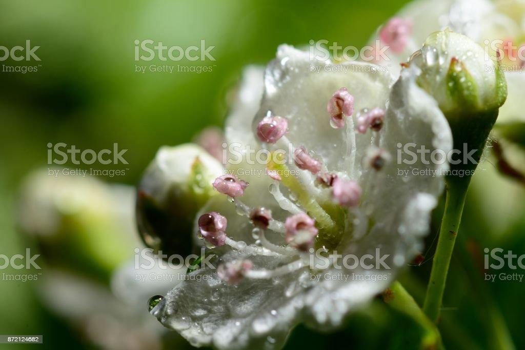 hawthorn flor - foto de stock