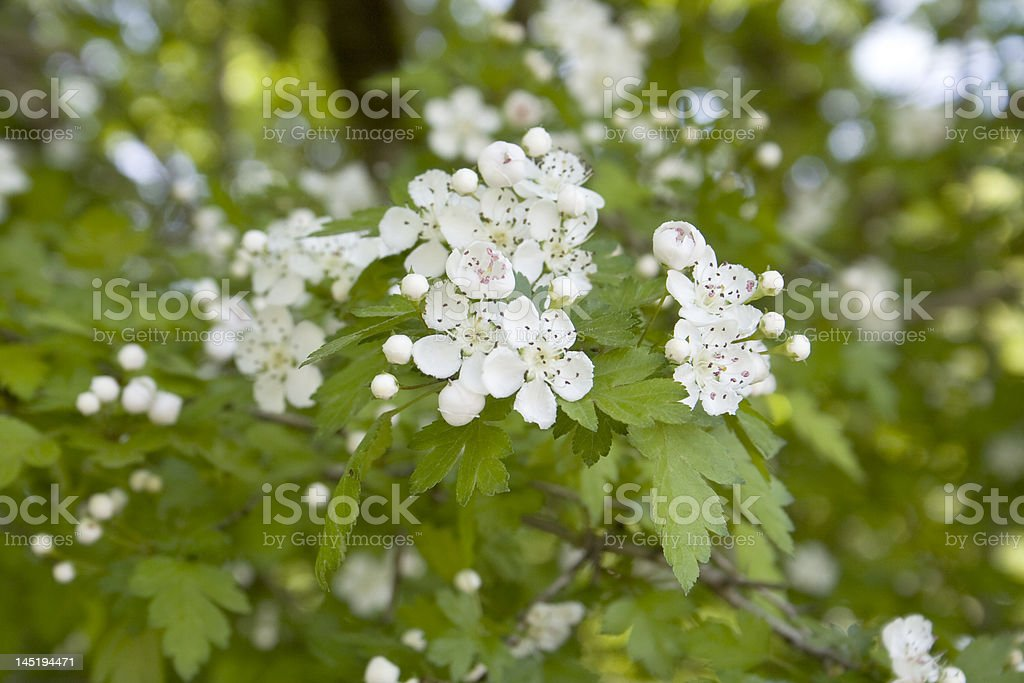 hawthorn blossom tree stock photo