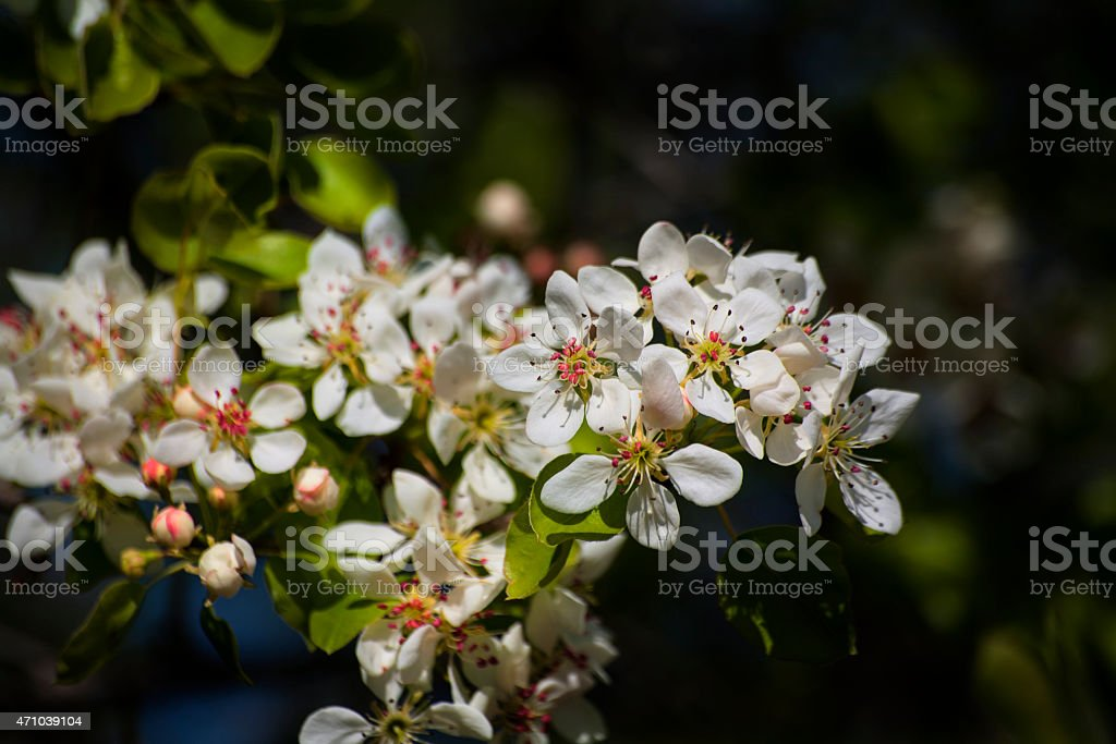 Hawthorn blossoms stock photo
