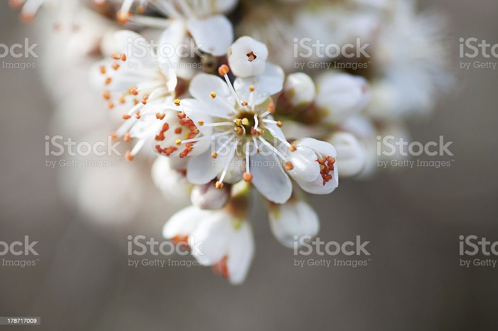 hawthorn branch in bloom stock photo