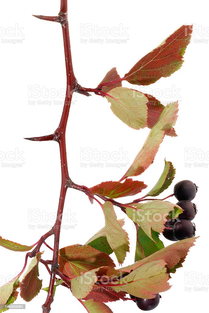 Hawthorn branch with berries royalty-free stock photo