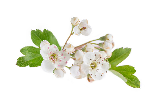 Hawthorn branch with flowers on white background