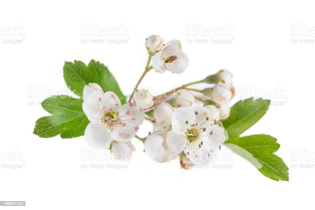 Hawthorn branch with flowers on white background stock photo